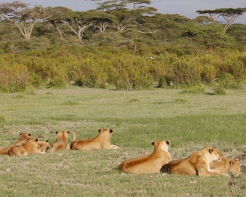 african-lion-safari