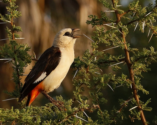 15 DAYS :SOUTHERN TANZANIA BIRDING & BIG GAME VIEWING SAFARI OPTION.