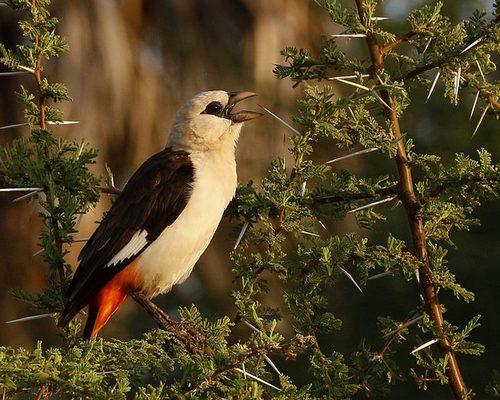 15 Days Southern Tanzania Birding