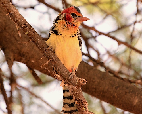 red yellow barbet