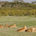 Tanzania Birding & Beyond Safari african lion safari