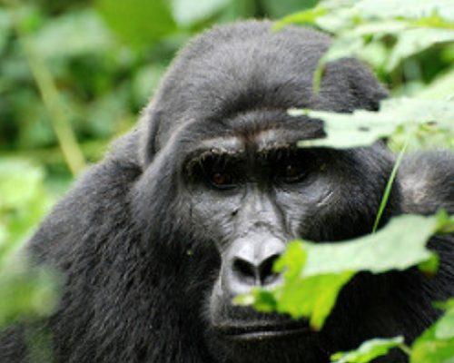 29 Days Birding, Gorilla Trekking, Wildlife Uganda