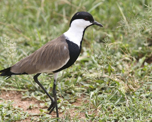 7 Days Uganda Birding Safari