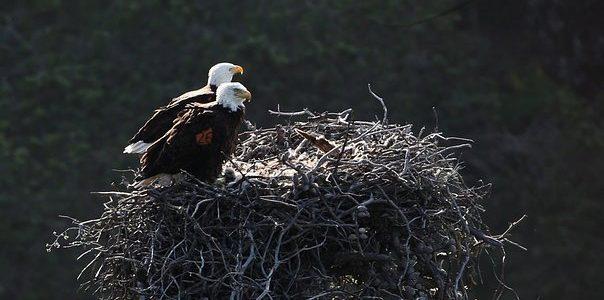 bald-eagles-nest 2