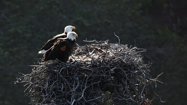 bald-eagles-nest 2