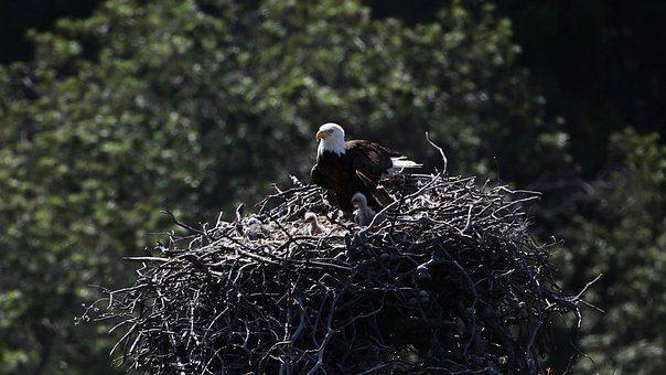 bald-eagles-nest