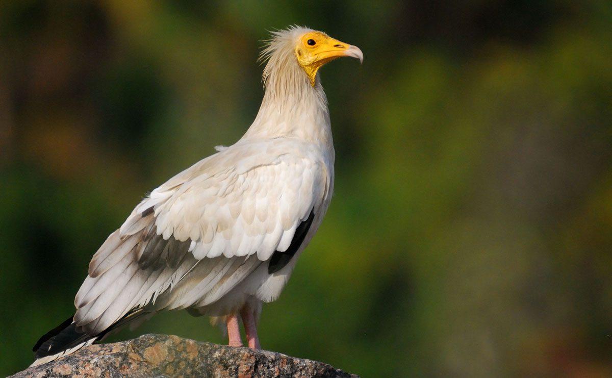 egyptain vulture in tanzania