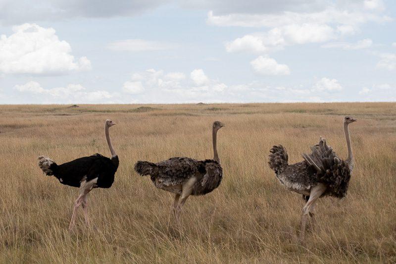 Ostrich endemic