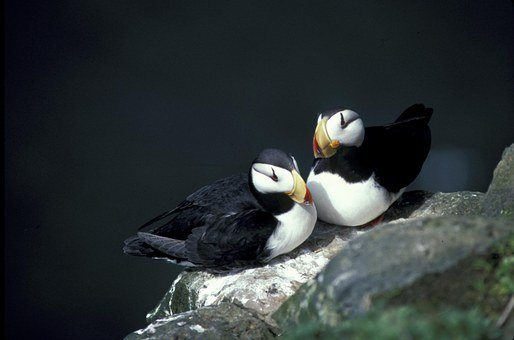 horned puffin nest