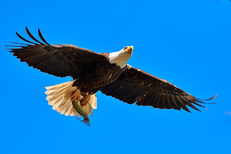 Fish eagle endemic