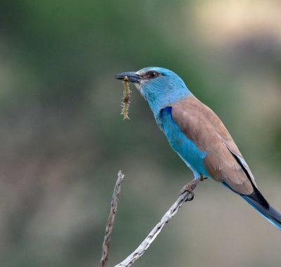 17 Days Keen Birder Tour Kenya
