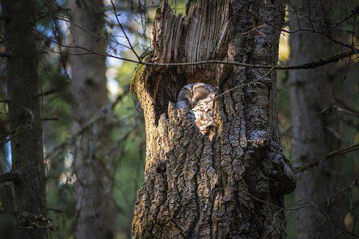 owl cavity nest