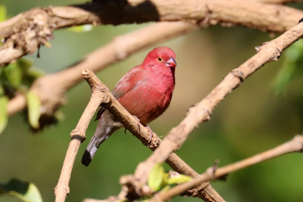 red billed firefinch