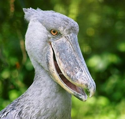 14 Days Uganda Budget Birding Tour