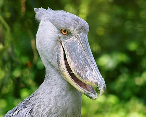 shoebill safaris - UGANDA BUDGET BIRDING TOUR