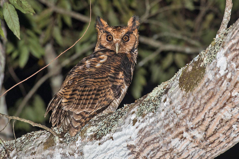 Usambara owl